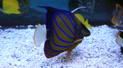 Blue ring angelfish of the family Pomacanthidae - stock footage