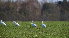 Whooper swans devastating a winter rape field before leaving to South. Stock Footage