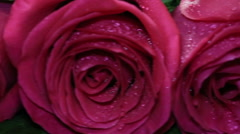 Fresh pink rose and dry. Withering beauty and onset of old age Stock Footage