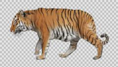 Tiger Walks - stock footage