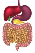 Alimentary Canal Digestive System - stock illustration