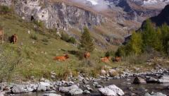Herd of dairy cows in the Alps Stock Footage