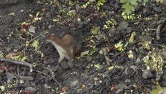 Stoat hunting for food Stock Footage