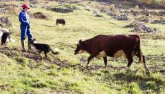 Sheepdogs harassing a cow Stock Footage