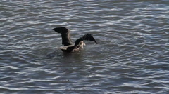 Giant Petrel in the water Stock Footage