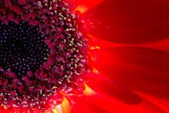 Red and Orange Chrysanthemum Flower and Highlighted Stamens Stock Photos