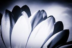 Monochrome Chrysanthemum Petals Stock Photos