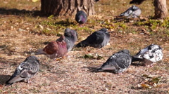 Doves in the Cold Wind. Stock Footage