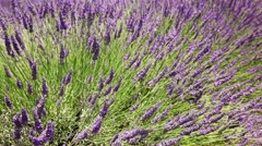 Sprigs of lavender dancing in the wind - stock footage