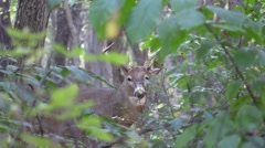 Deer whitetail buck in forest nature animal wildlife Stock Footage