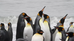 KIng penguins on the beach Stock Footage