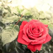 Romantic rose flower in summer garden. Watercolor painting effect Stock Photos