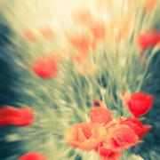 Wild poppy flowers on summer meadow. Blur watercolor painting effect Stock Photos