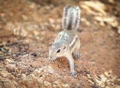 Squirrel in a natural habitat, Valley of Fire State Park, USA. Stock Photos