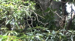 Spectacled Bear in mango tree feeding 3 Stock Footage