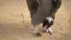 Black Vulture Eat Prey Stock Footage