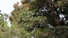 Spectacled Bear in mango tree feeding 5 Stock Footage