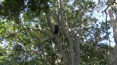 Spectacled Bear rest in tree looking around 2 Stock Footage