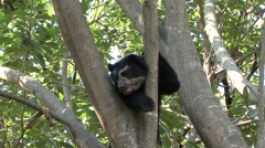 Spectacled Bear rest in tree looking around 5 Stock Footage