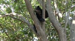 Spectacled Bear rest in tree looking around  Stock Footage