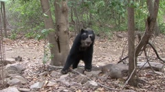 Spectacled Bear walk in dry forest  Stock Footage