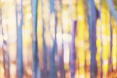 Blurred bamboo forest background at sunset - stock photo