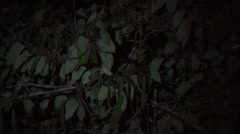 Spix's Night Monkey family feed on flowers in the night  Stock Footage
