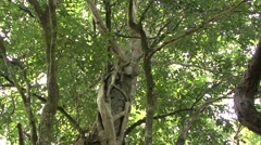 Spix's Night Monkey family in tree hole during the day 11 Stock Footage