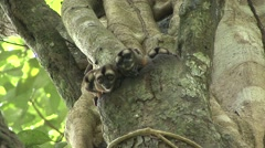 Spix's Night Monkey family in tree hole during the day Stock Footage