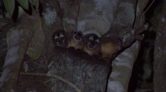 Spix's Night Monkey family move in the night  Stock Footage