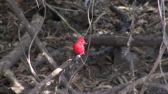 Vermillion Flycatcher perched on branch  Stock Footage
