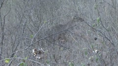 White-tailed Deer female moving cautiously in bush Stock Footage