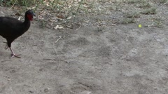 White-winged Guan walking Stock Footage