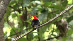 Wire-tailed Manakin male perched on branch Stock Footage