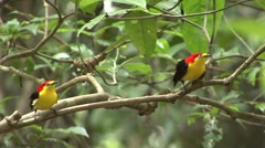 Wire-tailed Manakin males displaying - stock footage