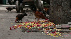 Chicken finding food from let down flowers on the floor. - stock footage