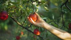 Woman Picking Apples Stock Footage