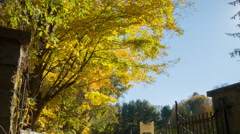 Foliage Glorious Yellow & Green, New England Cemetery Stock Footage