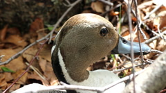 Portrait of the Pintail in woods. Beautiful duck male Stock Footage