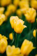 Yellow Tulips Flowers In Spring Garden Flower Bed - stock photo