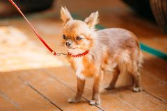 Beautiful Young Red Brown And White  Tiny Chihuahua Dog Staying - stock photo