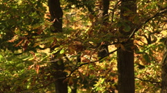 Stock Video Footage of Autumn time in a woodland