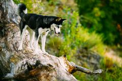 Young Happy Husky Eskimo Dog Sitting On Trunk Of A Fallen Tree Stock Photos