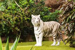 wild life shot of a white tiger in captivity - stock photo