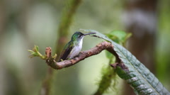 An Andean Emerald, Agyrtria franciae, perched in the rainforest of Ecuador Stock Footage