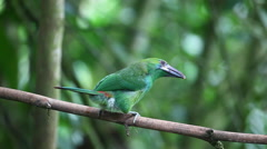 Female Crimson-rumped Toucanet, Aulacorhynchus haematopygus, close up in Ecuador Stock Footage