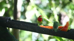 Pair of Red-headed Barbet, Eubucco bourcierii, at a feeder in Ecuador - stock footage