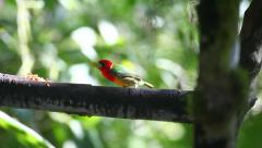 Male Red-headed Barbet, Eubucco bourcierii, at a feeder in Ecuador - stock footage