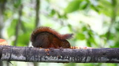 Red-tailed Squirrel, Sciurus granatensis, at a feeder in Ecuador Stock Footage