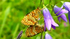 Wonderful butterfly nymph on blue bellflower Stock Footage